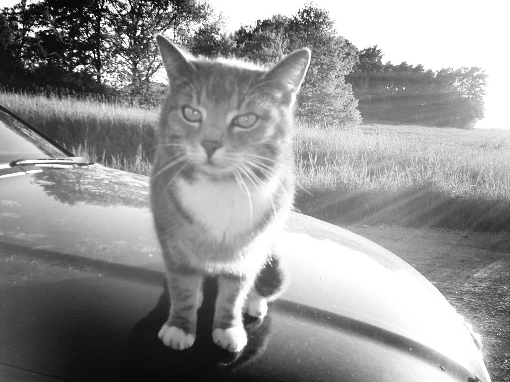 Katze auf Auto III